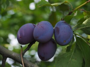 4 Mangos Maduros en la Rama del Árbol
