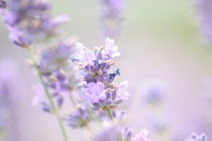 Foto Enfocada a una Flor Lavanda